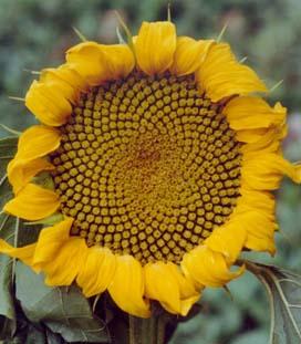 flowers and fibonacci